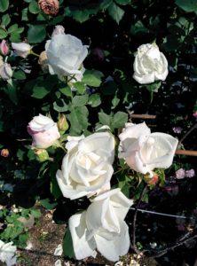 白薔薇とか