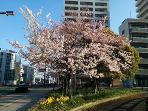 松山市札の辻の桜